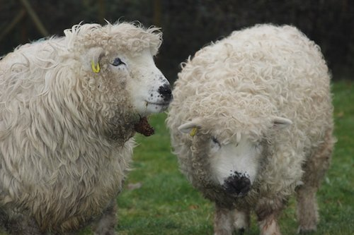Greyface Dartmoor Sheep for sale
