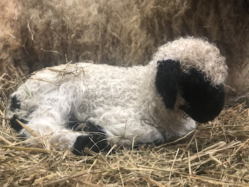 Swiss Valais Blacknose sheep for sale